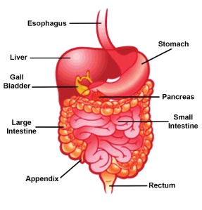 human_digestive_system